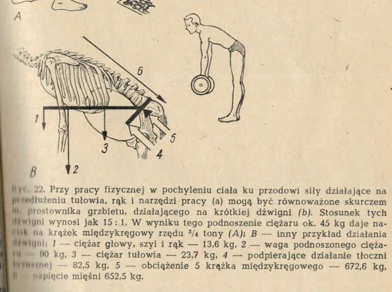Obraz 16. B - 1 - Ciężar głowy, szyi i rąk - 13,6 kg | 2 - Waga podnoszonego ciężaru - 90kg | 3 - ciężar tułowia - 23,7kg | 4 - podpierające działanie tłoczni brzusznej | 5 - obciążenie 5 krążka międzykręgowego - 672,6 kg | 6 - napięcie mięśnie 652,5 kg